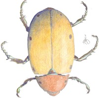 scientific illustration of a beetle